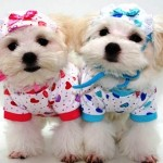 Roupas para Cachorros – Onde comprar, Fotos, modelos